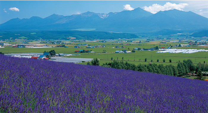 Traditional Lavender Field