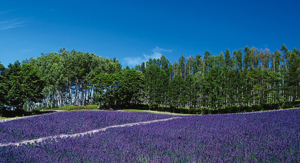 Lavender Forest Field